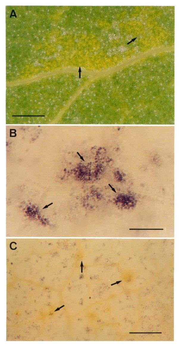 Estrés Oxidativo  inducido por  Salinidad