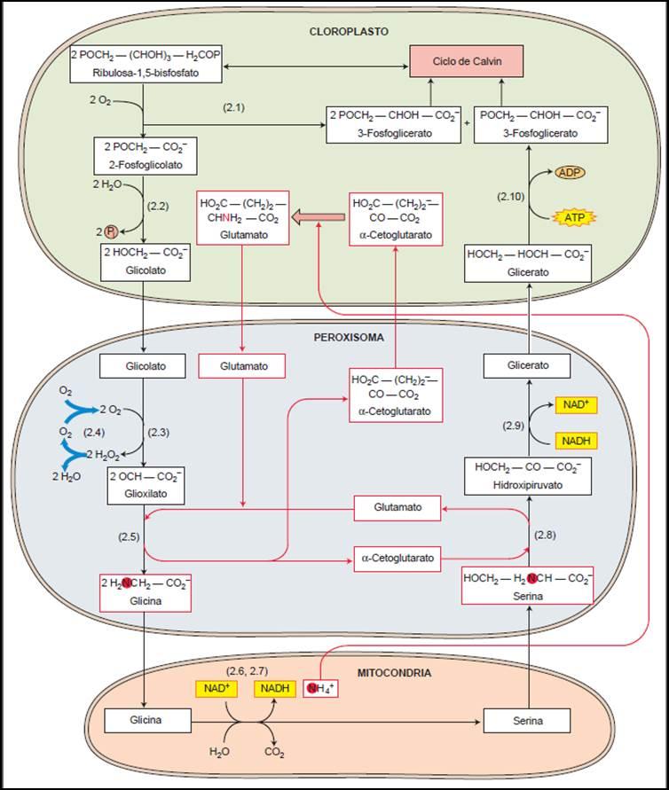Fig. 2.- La Fotorrespiración previene la sobre-reducción de la cadena de transporte electrónico en el cloroplasto. La ruta recupera el 75% del C perdido al principio en forma de fosfoglicolato. Además regenera aceptores electrónicos en la cadena de transporte fotosintético (Fdox y ADP) (Imagen tomada de Taiz y Zeiger 2006).
